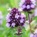 Flor de tomílio